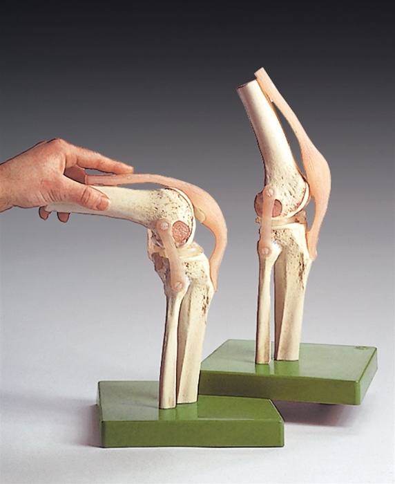 6 Anatomical Models For Setting Up Your Physical Therapy Anatomy