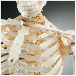 budget-bucky-skeleton