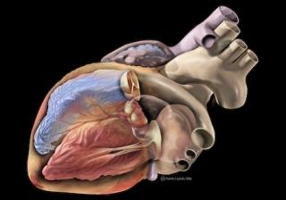 Heart Anatomy: February is American Heart Month!