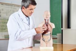 Professor Analyzing Anatomical Model At Desk